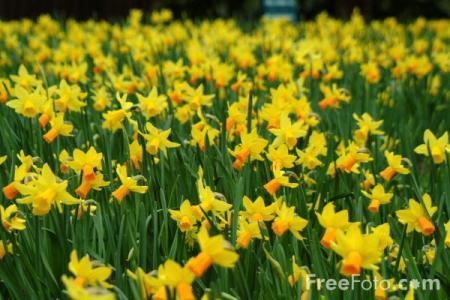 19_12_21-daffodils_web